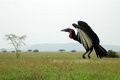 Ground hornbill lands on the plains of the serengeti Stock Images