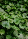 stock image of  Ground ivy covering the woods