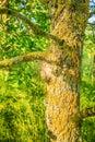 Oak Processionary Caterpillars, Thaumetopoea Processionea, On Infected  Pedunculate Oak, Quercus Robur