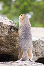 Ground squirell on the rock standing by summer Stock Photo