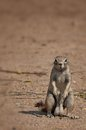 Ground squirrel in etosha namibia posing park Royalty Free Stock Images