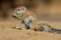 Ground squirrel feeding xerus inaurus kalahari desert south africa Royalty Free Stock Photo