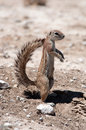 Ground squirrel a kalahari desert south africa Stock Images