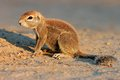 Ground squirrel kalahari xerus inaurus desert south africa Royalty Free Stock Photo