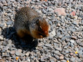 Ground squirrel a large eats seeds in the rocks Stock Images