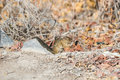 Ground squirrel sitting in a autumn bush Royalty Free Stock Photo