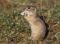Ground squirrel Spermophilus citellus Royalty Free Stock Photos