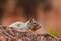 Ground squirrel in the wilds,Colorado,USA Royalty Free Stock Photo