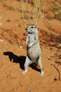 Ground Squirrel (Xerus inauris) Royalty Free Stock Images