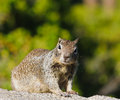 Ground squirrel in yosemite national park Stock Photos