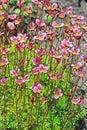 Groundcover garden plant - Arends Saxifraga (Saxifraga arendsii) Royalty Free Stock Photo