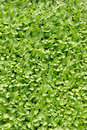 Groundcover plant decorative texture in the garden Royalty Free Stock Photos