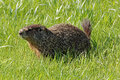 Groundhog in the Grass Royalty Free Stock Photo
