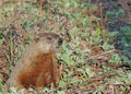 Groundhog (Marmota monax) Stock Photos