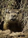 Groundhog marmota monax closeup of a peeking out of its hole Royalty Free Stock Images