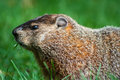 Groundhog marmota monax eating some grass Stock Photos