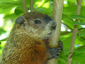 Groundhog sitting in a tree closeup of holding onto the trunk of sapling Royalty Free Stock Image