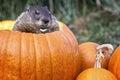 Groundhog w bani Zdjęcie Royalty Free