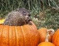 Groundhog w bani Zdjęcie Stock