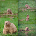 Groundhogs Photo stock
