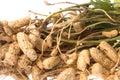 Groundnuts isolerade rått Arkivfoton