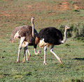 Group of 3 ostrich Stock Photography