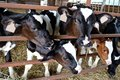 stock image of  Six Curious Cute Holstein Calves