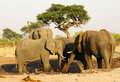 Group of African Elephants Royalty Free Stock Photo