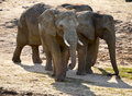 Group of african elephants in natural environment Stock Images