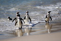 Group of african penguins jumping out from the ocean picture taken in republic of south africa Royalty Free Stock Photography