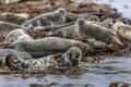 Group Atlantic Grey Seal Royalty Free Stock Photo