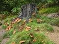 A group of autumn fungi tan coloured around tree stump Stock Photo