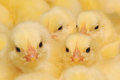 Group of Baby Chicks Royalty Free Stock Photography