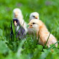 Group of baby chicks in grass Stock Image