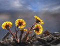 Group of back lit coltsfoot close up in spring Royalty Free Stock Image