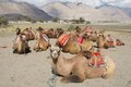 Group of bactrain camels bactrian relaxing in desert against mountains nubra valley ladakh india Stock Images