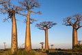 Group of baobab trees the landscape with during the sunset madagascar Stock Images
