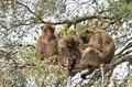 stock image of  A group of Barbary macaques