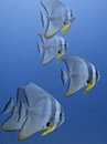 Group of bat fish Royalty Free Stock Photo