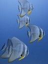 Group of bat fish Royalty Free Stock Photo