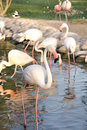 A group of Beautiful Flamingos in a pond Royalty Free Stock Images