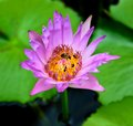 Group of bee swarming purple lotus for background Royalty Free Stock Photography
