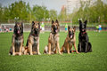 Group of belgian shepherd dogs five cute sitting together Stock Photography