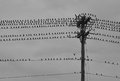 Group of Birds On Telephone Pole on Stormy Day Royalty Free Stock Photo