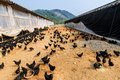 A group of black chicken inside the farm rows with multitude chickens Royalty Free Stock Images