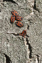 A group of black and red coleopterons Royalty Free Stock Image