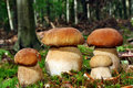 Group  boletus Royalty Free Stock Photo