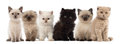 Group of British shorthair and British longhair Stock Images