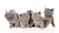 Group british shorthair kittens looking at camera. isolated on white Royalty Free Stock Photo