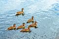 Group brown ducks swimming pond Royalty Free Stock Photo